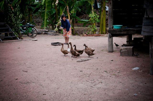 feeding goose in rural village Cambodia
